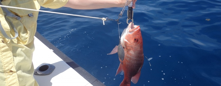 Scientific team selected to conduct independent abundance estimate of red snapper in Gulf of Mexico