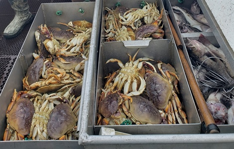 Dungeness crab larvae already showing effects of coastal acidification