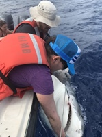 Dr. Krisa Arzayus tags a tiger shark
