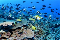 Reef fish in Hawaii